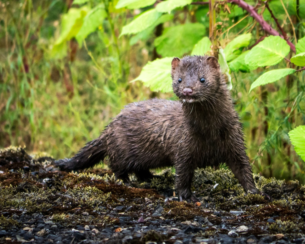 Mink.  Carr Slough, Columbia Co., Oregon