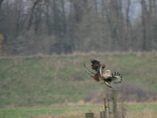 Rough-legged and Red-tailed Hawks.  Scappoose Bottoms, Columbia Co., Oregon.