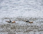 American Avocets (TN)