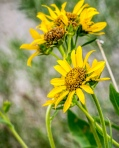 Northwestern Balsamroot (FR)