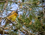 Black-headed Grosbeak (HQ)