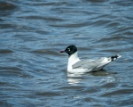 Franklin's Gull (CPR)