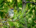 Green-tailed Towhee (IF)