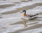 Red-necked Phalarope - female (TN)