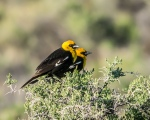 Yellow-headed Blackbirds (MFS)