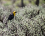 Yellow-headed Blackbird (RRR)