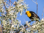Yellow-headed Blackbird (MFS)