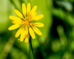 Alpine Meadow Groundsel