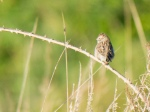 Out of place Brewer's Sparrow