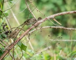Early Golden-crowned Sparrow
