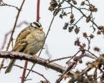 White_crowned Sparrow